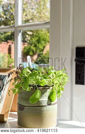 Growing Salad Leaves And Herbs By The Window In Home Interior