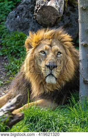 The Asiatic Lion Is A Panthera Leo Leo Population Surviving Today Only In India