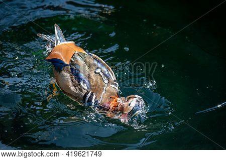 One Adult Male Mandarin Duck Swimming In Lake Geneva, Switzerland. Aix Galericulata. Beauty In Natur