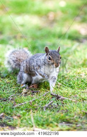 Grey Squirrel Or Sciurus Carolinensis In Close Up Outdoors At A Park