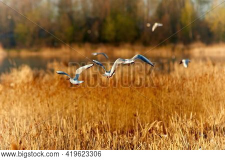 Black-headed Gull In Summer Plumage, In Natural Habitats, Reed Thickets Of Lakes.