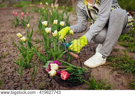 Gardener Picking White Tulips In Spring Garden. Woman Cuts Flowers Off With Secateurs Picking Them I