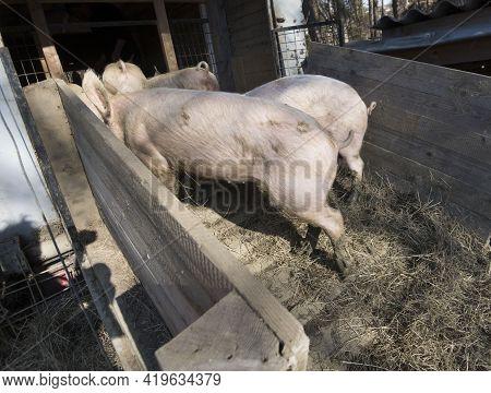 Pig Breeding In A Pigsty