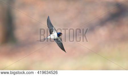 Barn Swallow Hirundo Rustica In Flight Over The Lake