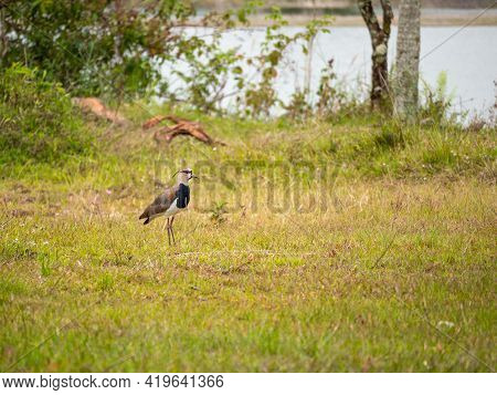 The Southern Lapwing (vanellus Chilensis) Bird On The Meadow Next To The River In Guatape, Colombia