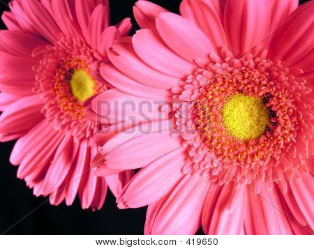 Pink Gerber Daisies Close