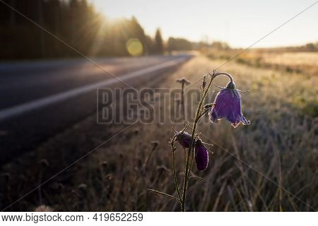A Bluebell Covered In Frost By A Road On An Autumn Morning. The Bright Sun Makes The Frost Sparkle.