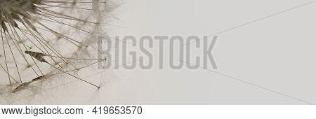 Dandelion Seeds.floral Banner. Dandelion Close-up On A Light Gray Background.dandelion Seeds Texture