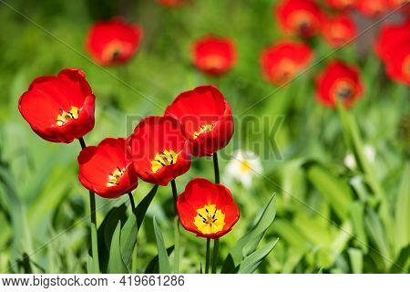 Red Tulips On A Background Of Green Vegetation In Nature.