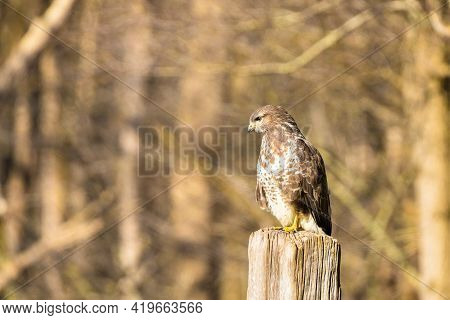 Buzzard In The Forest. Sitting On A Wooden Post. Wildlife Bird Of Prey, Buteo Buteo, Looking Right.
