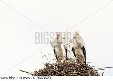 Two Storks Build A Nest On The Chimney Of A House. Above An Owl Sign With White Swans. A Triangle An