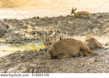 Rucervus Eldii Thamin. Burmese Brow-antlered Deer In Zoo Of Thailand