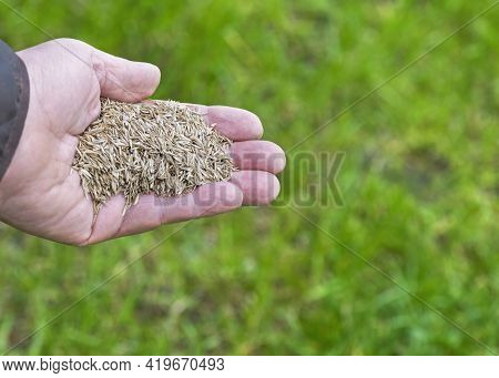 Repairing A Lawn With Grass Seed  Female Hand Holding Grass-seed Over A Patchy Ground Green  Backgro