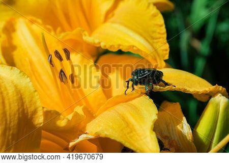Golden Chafer (latin: Cetonia Aurata) Sitting On Yellow Daylily (latin: Hemerocallis). Insect Pest O