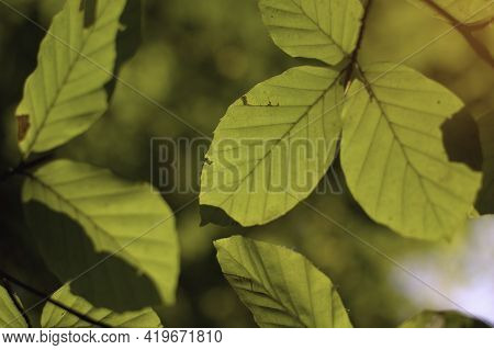 Backlit Of Green Leaves In The Forest With Bokeh Of Tree And Sunlight