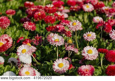 Bellis Perennis Garden Perennial Pink Daisies. Horizontal Spring Background. Growing Colorful Flower