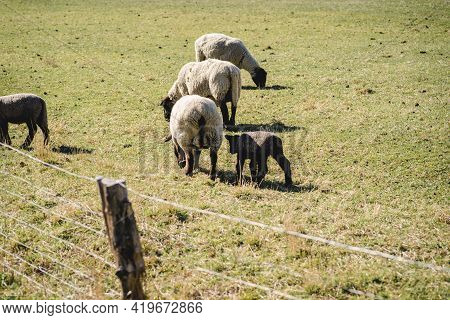 Group Of Sheep Grazing In Paddock At Farm. Sheep Graze In The Field.
