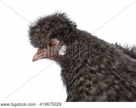 Head Shot Of Fluffy Cuckoo Silkie Chicken, Standing Side Ways, Looking Straight Ahead. Isolated On A