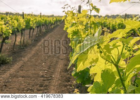 Field Of Vines In Spring With The First Leaves And Bunches Of Grapes Sprouting At Dawn. Island Of Ma