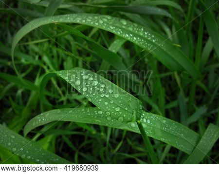 Drops Of Rain Water On A Green Leaf Of Wheat. Rainy Day
