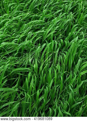 Green Leaves Of Winter Wheat After Rain