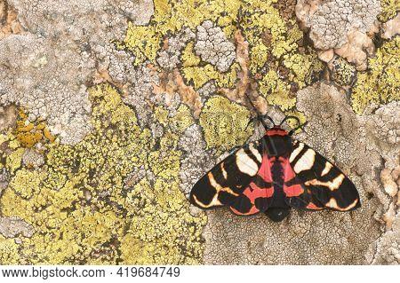 The Scarlet Tiger Moth Arctia Festiva, Formerly Panaxia Dominula