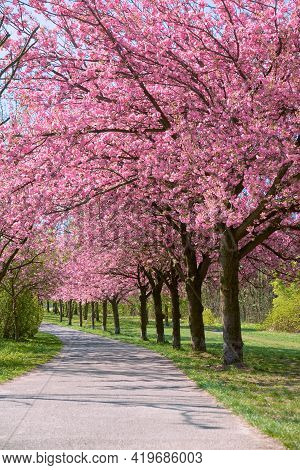 Alley Of Blossoming Cherry Trees Called Mauer Weg English: Wall Path Following The Path Of Former Wa