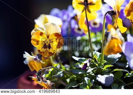 A Portrait Of A Yellow Viola Flower Standing At The Side Of Other Yellow And Purple Plants Of Its Ki