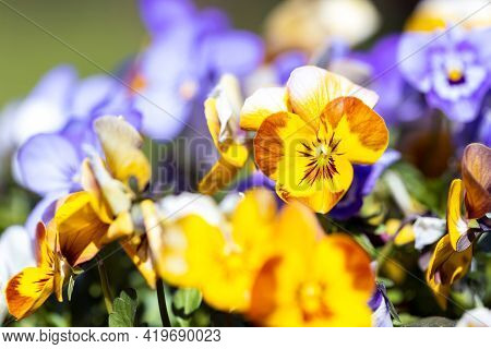 A Portrait Of A Yellow And Brown Pansy Or Viola Flower Standing Between Other Yellow, White And Purp
