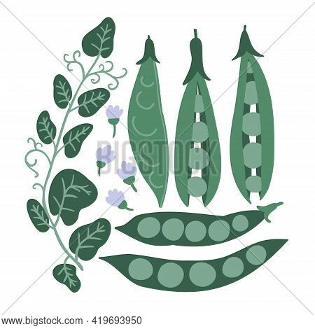 Set With Green Peas, Flowers, Peas, Stitches And Pea Sprouts. Food Background. Flat Vegetables On Wh