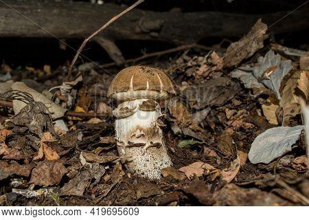 Leccinum Boletus Edulis. Edible Mushroom Growing In The Autumn In The Dark Forest. Mushroom  Closeup