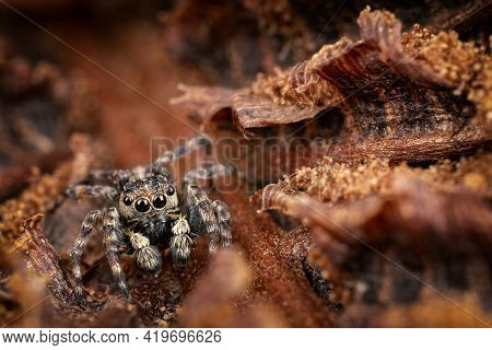 A Brown Jumping Spider Masquerades In The Background Of A Brown Crust