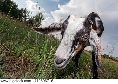 Young Mule Graze On The Meadow And Bent Over Eat Green Grass