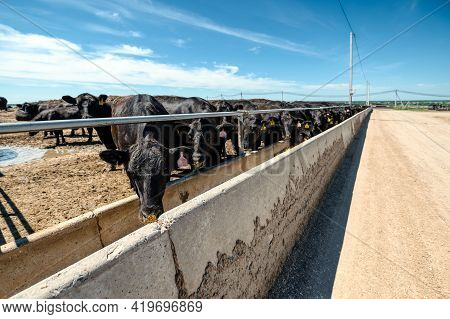 Black Cows Eat From Their Feeders. Raising Beef Breeds Of Cows.