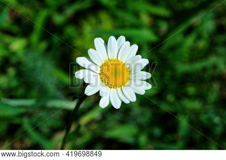 Garden Chamomile Or Nivyanik Or Ox-eye Daisy (latin: Leucanthemum) On A Dark Background Of Green Lea