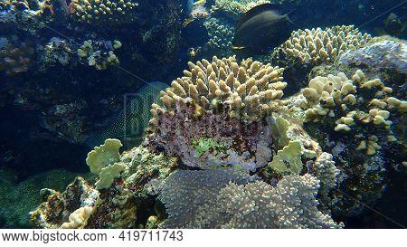 Hiding Behind Coral Blackeye Thicklip Or Blackeye Thicklip Wrasse Or Half-and-half Wrasse (hemigymnu