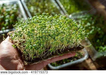 Hold The Microgreen In Hands. Watercress Lettuce Sprouted Sprouts. Urban Gardening. Organic Vegan Fo