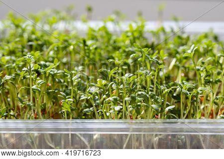 Micro Green Closeup. Germination Of Cress Seeds. Sprouted Watercress Salad Microgreens. Home Garden.