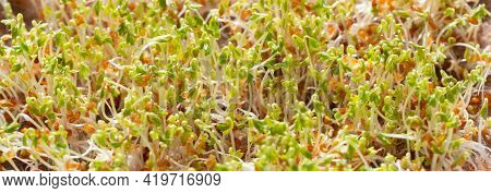 Young Growth Of Cress Seeds Micro Greens. Microgreen Close Up. Banner. The Concept Of Healthy And Ve