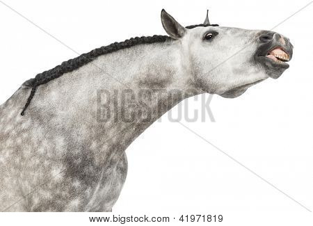 Close-up of an Andalusian head, 7 years old, making a face, stretching its neck, also known as the Pure Spanish Horse or PRE against white background