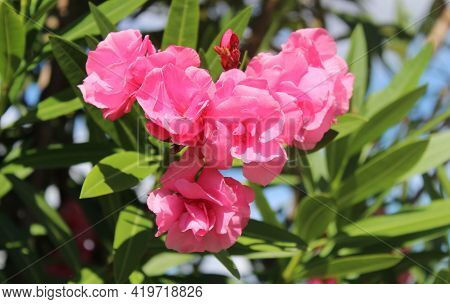 A Pink Blossoming Oleander In The Garden