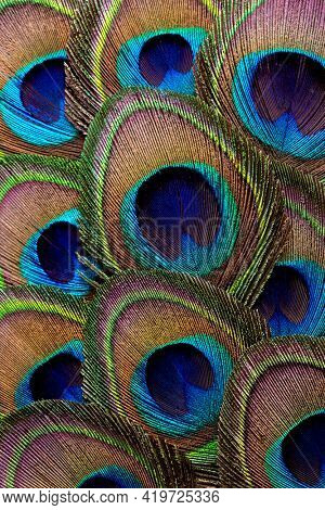 Abstract background with peacock feathers. Close up.