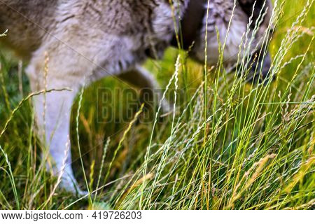 Defocus Closeup Siberian Laika Husky On A Leash. Dog Smelling For Hunting In Garden. The Pet Takes T