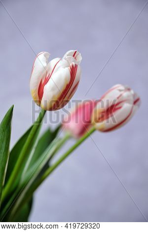 Bouquet Of Tulips On A Light Purple Background.