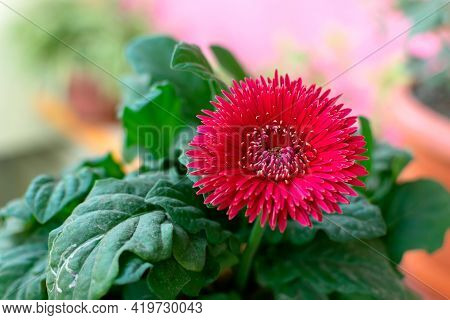 Beautiful Red Colored Flower With Leaves And Used Differential Focus.