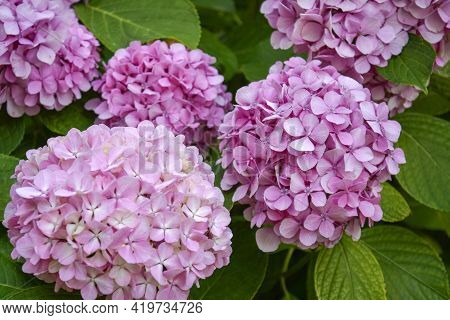 Blossoming Hydrangea Or Hortensia Flowers With Gentle Franrance And Fragile Fresh Warm Pink And Viol