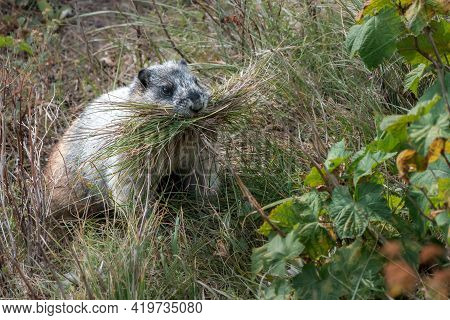 Cute Yellow-bellies Marmot With Its Mouth Full Of Grass. Marmota Flaviventris In Its Natural Habitat