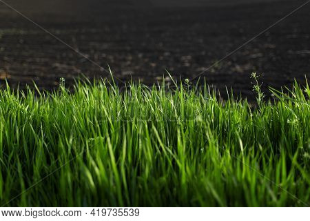 Close-up Of Green Grass  On Background Of Black Farmland. Natural Background.