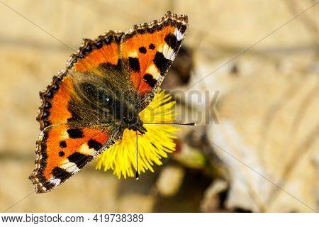 European Small Tortoiseshell Butterfly Sucks Nectar From The Yellow Coltsfoot Flower