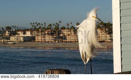 White Snowy Egret On Wooden Pier Railings, Oceanside Boardwalk, California Usa. Ocean Beach, Sea Wat